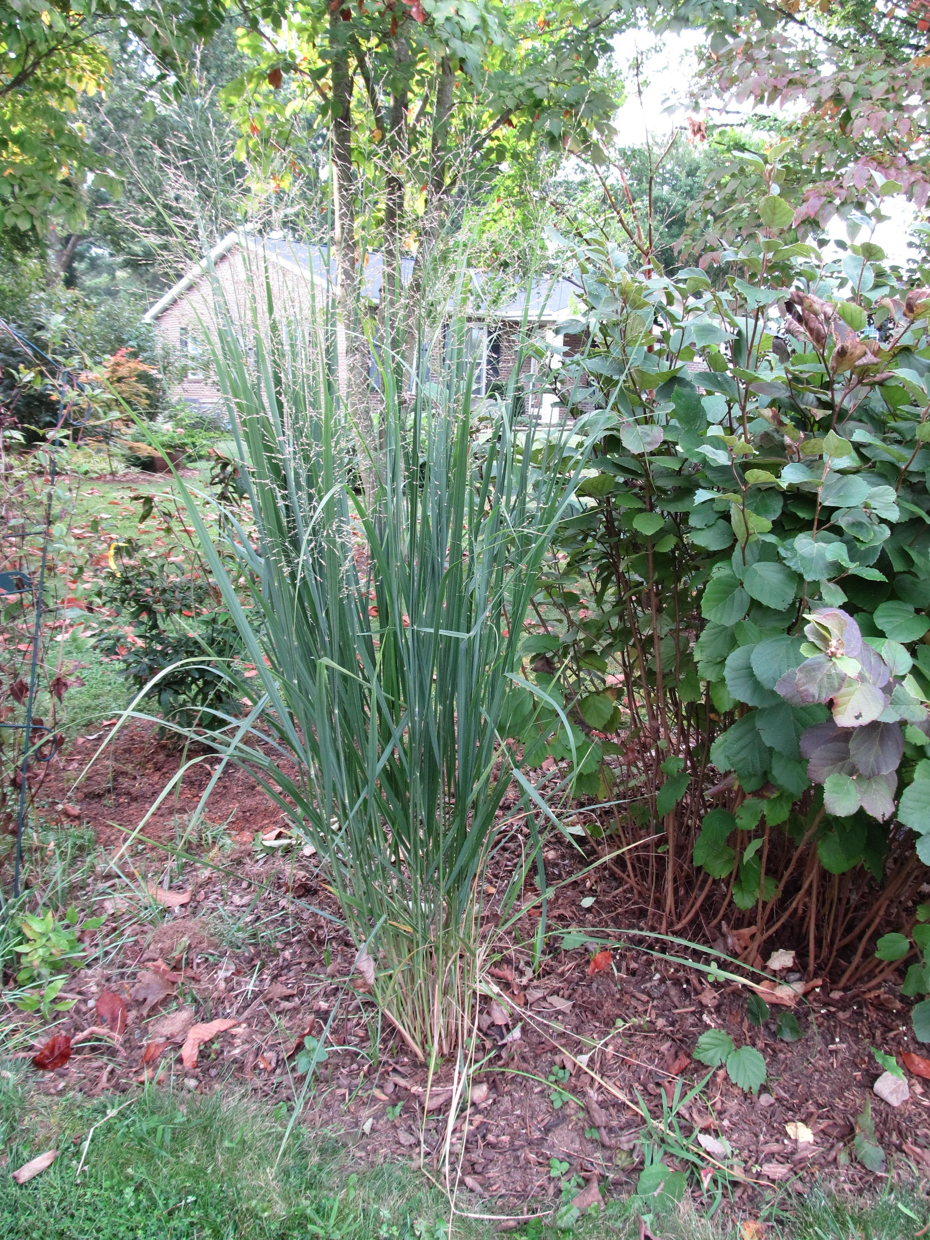 2014 Perennial Plant Of The Year Northwind Switchgrass