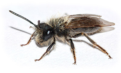Ground Nesting Bees Are Beneficial Pollinators What