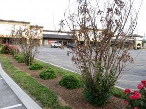 Winter Damage On Crape Myrtles What Grows There Hugh